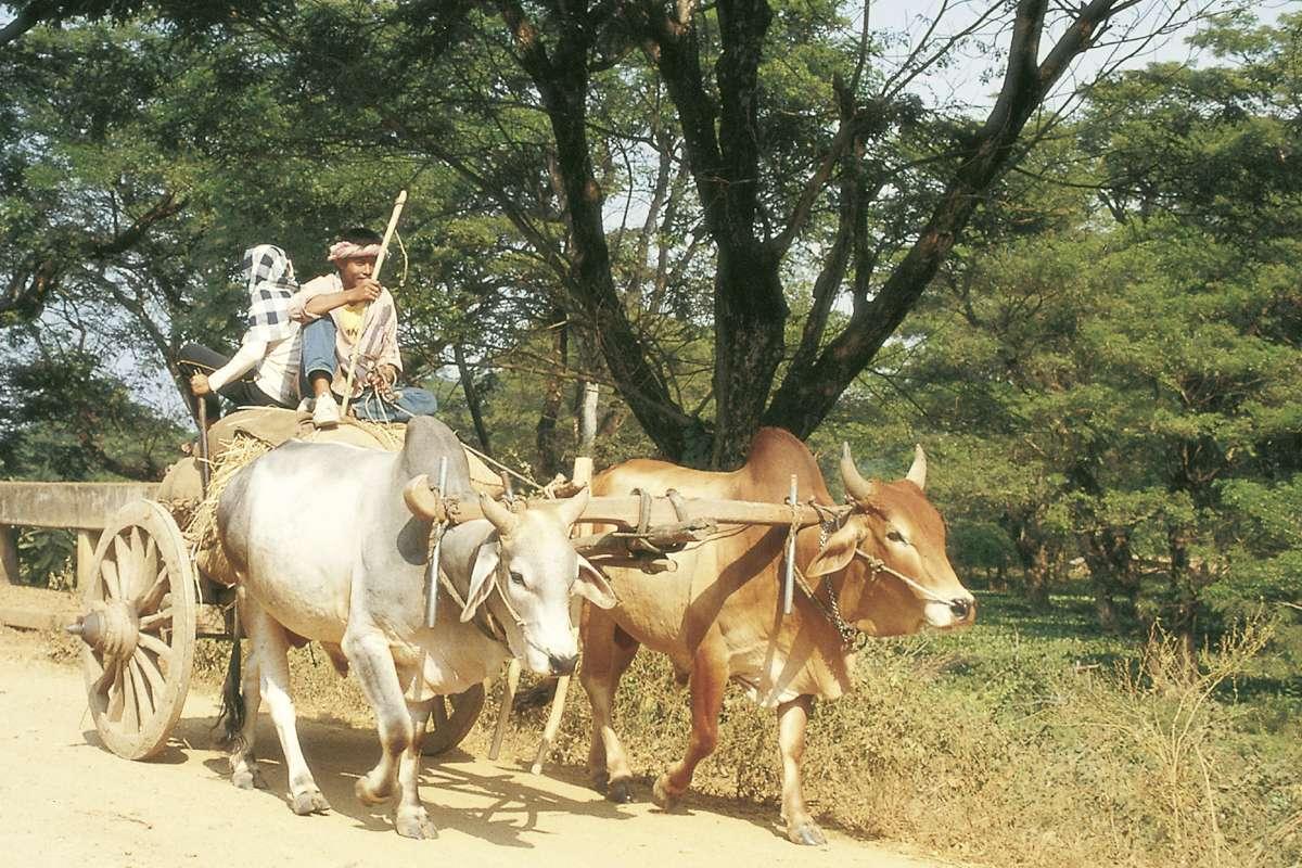 Rinderwagen in Nordthailand