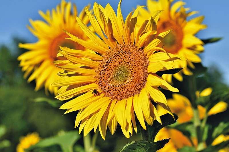 Sonnenblumen Happy Hour für die Seele